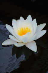 Close-up image of White Water Lily , Chiang Mai, Thailand