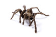 Australian Tarantula on white background.