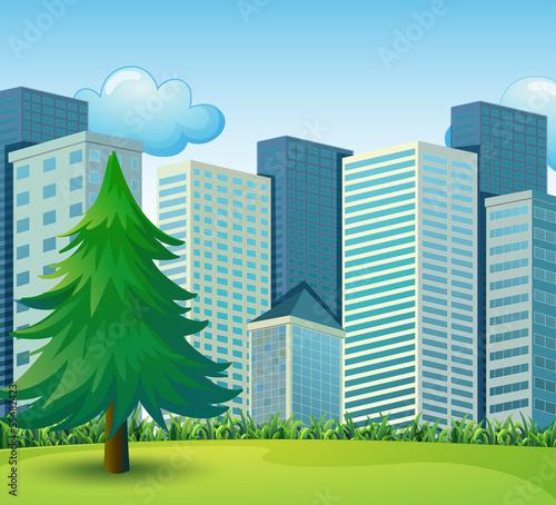 A big pine tree growing near the tall buildings