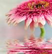 Piękna różowa gerbera