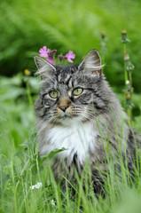 Norwegian forest cat in flower meadow