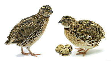 Quails with eggs on  white background