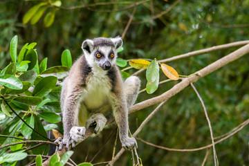 Lemur catta of Madagascar