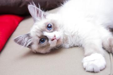 Siberian Cat - Neva Masquerade