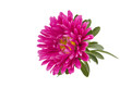 pink aster isolated