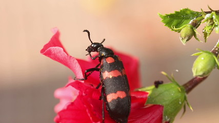 Black and red beetle washing itself up on a red flower. Macro.
