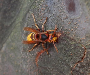 European hornet on quince tree