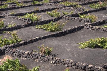 Coltivazione di vigne