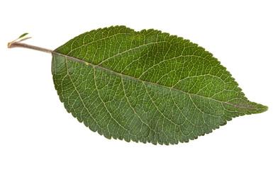green leaf of apple tree