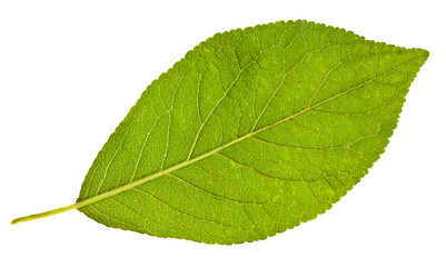 back side of plum tree green leaf