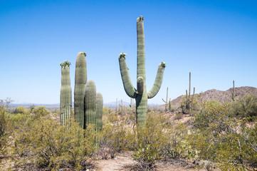 Flowering Saguaro
