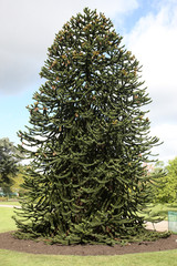 Monkey tree, Araucaria araucana