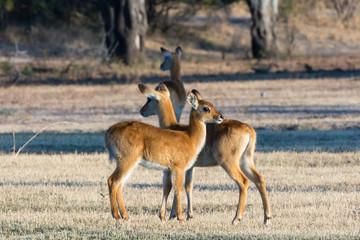 Puku calves (Kobus vardonii)