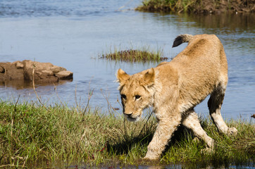 Lion cub near a river