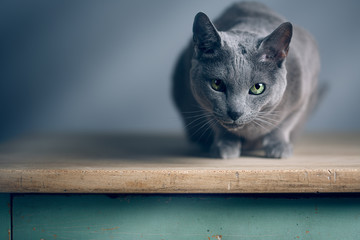 Russisch Blau Katzenportrait