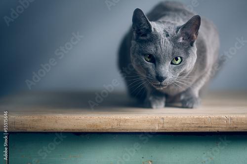 canvas print picture Russisch Blau Katzenportrait
