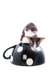 Siamese kitten in big cup