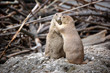 Prairie Dogs Endearments