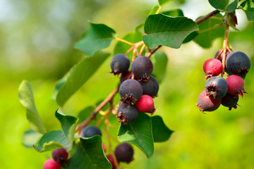 saskatoon berry delicious on deciduous shrub