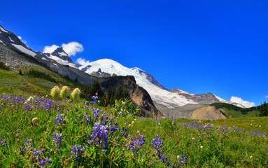 Alpine lupine in front of Mount Rainier
