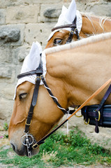 Two horses harnessed in a carriage