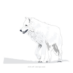 Arctic Wolf Illustration