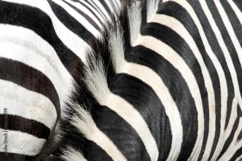 Plagát, Obraz zebra