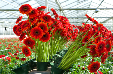 flowers in a commercial greenhouse