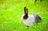 black-and-white rabbit sitting on the green grass