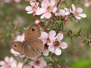 Spring Dusky Knight butterfly ID Australian leptospernum flowers