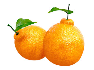 Two Fresh Dekopon orange. Foods and Dishes Series.