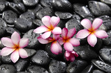 Pink frangipani with black stones background