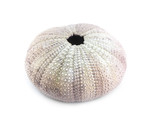 Sea urchin shell on white background. Shallow depth of field.