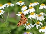 Бабочка-углокрыльница на ромашках