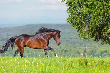 Arab racer on a green summer meadow