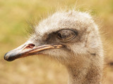 Head of ostrich on the grass background looking on the right
