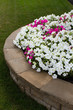 Petunias on the Brick Retaining Wall