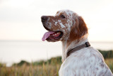 Irish setter on sea landscape