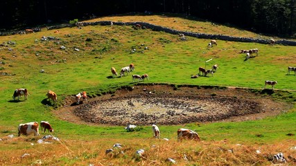 Cattle on high mountain pasture.