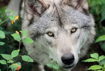 tète de loup gris