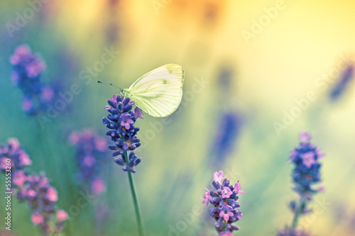Fototapety, obrazy : Butterfly on lavender