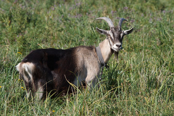Gray goat standing in the green grass in the pasture