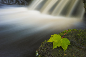 stranded sycamore leaf on waterfall