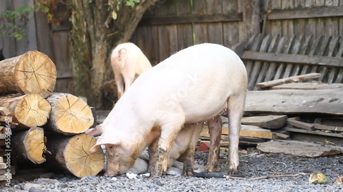 Piglets on a farmyard.