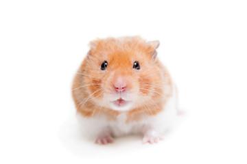 Golden hamster isolated on white