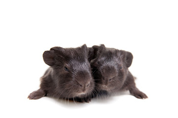 Two black Guinea pig babies isolated on white background