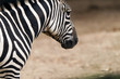 Closeup of the head of a zebra