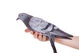 Rock Pigeon (Columba livia) isolated on white