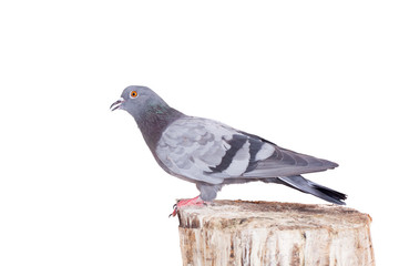 Rock Pigeon (Columba livia) isolated on white