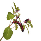 Pokeweed isolated on white background
